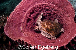 Turtle in barrelsponge, sipadan by Soren Egeberg