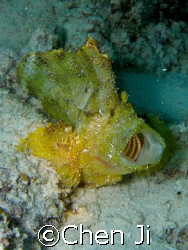 leaf fish opens mouth. this is a female one. by Chen Ji
