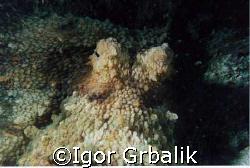Octopus by Igor Grbalik