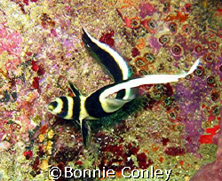 This is one of the several Spotted Drum seen in Tobago du... by Bonnie Conley