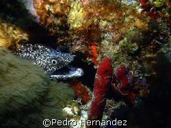 Spotted Moray,Humacao, Puerto Rico,Camera DC310 by Pedro Hernandez