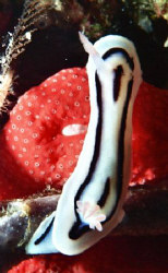 Black and white nudi on Red sponge.