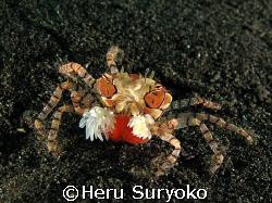 boxer crab with eggs by Heru Suryoko