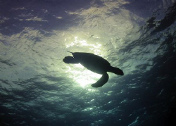 Lone turtle dives after taking a long breath, Rainbow Can... by Terry Moore