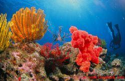 Lionfish gliding through soft corals on Zamami, Okinawa by John Chandler