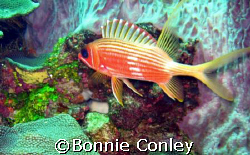 Squirrelfish seen in Tobago.  Photo taken with a Canon Po... by Bonnie Conley