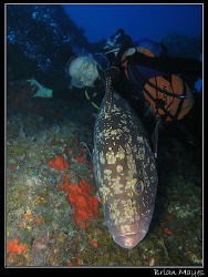 Large Dusky Grouper (Epinephelus marginatus) gets between... by Brian Mayes