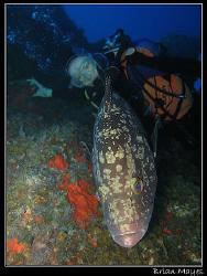 Large Dusky Grouper (Epinephelus marginatus) gets between... by Brian Mayes