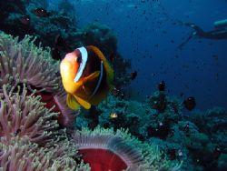 Anemone fish, taken with my housed digital camera at Ras ... by Erik Larsson