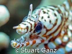 Dragon Moray, Taken in Kona Hawaii by Stuart Ganz