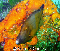 On my trip to Tobago last month I saw lots of filefish.  ... by Bonnie Conley