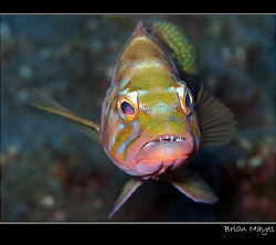 Blacktail Comber with attitude. Canon G7, El Hierro, Cana... by Brian Mayes