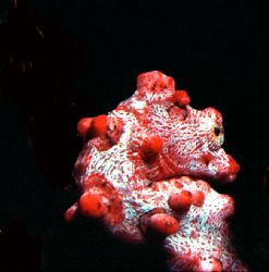 Pygmie Seahorse; Loloata Island, PNG; Housed Nikon F, 55m... by Rick Tegeler