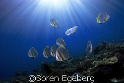 Batfish on afternoon dive, South Point, Sipadan- canon 20... by Soren Egeberg