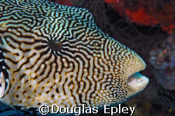 rather large puffer fish, on the last day of diving by Douglas Epley