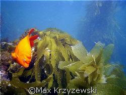 Catalina Island, CA....Adult Garibaldi by Max Krzyzewski