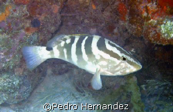 Nassau Grouper,Humacao, Puerto Rico,Camera DC200 by Pedro Hernandez