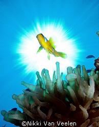 Clownfish and sunburst taken at Campsite 3, Ras Mohamed P... by Nikki Van Veelen