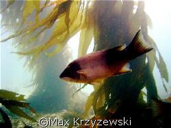 A young Sheep fish by Max Krzyzewski