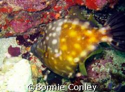 I saw quite a few filefish during my Tobago trip this Jun... by Bonnie Conley