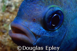the most evil animal in the sea, a damselfish guarding hi... by Douglas Epley
