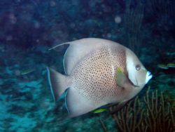 This Gray Angelfish photo was taken at about 50 feet in t... by Drew Fleeter