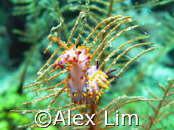 Flabellina? by Alex Lim