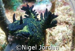 This Nudi is on the Korean Star (bulk salt carrier wrecke... by Nigel Jordan