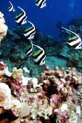 Pennant fishes, Isolated Reef, Maui HI by David Espinoza