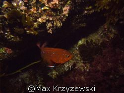 Juvenille Garibaldi posing for me off of  Catalina Island by Max Krzyzewski
