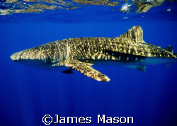 Whale Shark,Shark and Yolanda, Ras Mohammed, Sinai, Egypt by James Mason