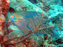 This queen parrotfish photo was taken in Grand Cayman at ... by Drew Fleeter