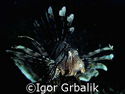 Lion Fish by Igor Grbalik