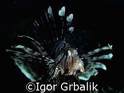 Lion Fish by Igor Grbalik