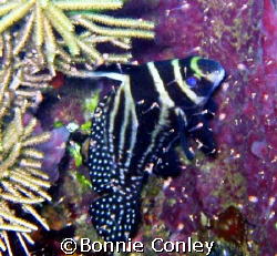 Spotted Drum in Tobago.  Shot taken with a Canon PowerSho... by Bonnie Conley
