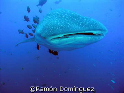 Whale shark at Revillagigedo islands by Ramón Domínguez