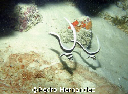Spotted Drum Juvenile,Humacao, Puerto Rico, Camera DC310 by Pedro Hernandez