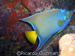Queen Angelfish at Desecheo Island. by Ricardo Guzman