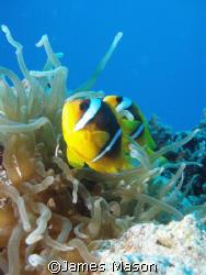 Red Sea Anenomefish, Ras Katy, Sinai, Egypt. by James Mason