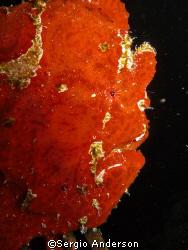 frogfish portrait, ari atholl by Sergio Anderson