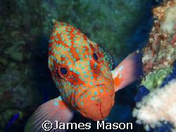 Coral Grouper...looking grumpy! by James Mason