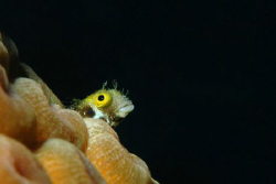 Goby or blenny (I'm not sure), Grand Cayman.  D70, 105 ma... by David Heidemann