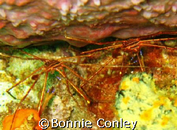 Pair of Arrow Crabs seen in Tobago.  Photo taken with a C... by Bonnie Conley