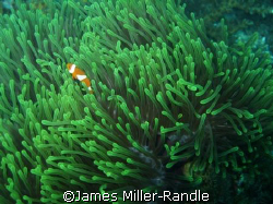 Clown Fish taken with Canon Ixus 700 (SD500) on Redang Is... by James Miller-Randle