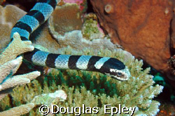 sea snake taken in wakatobi, d70 60mm by Douglas Epley
