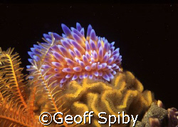 gas flame nudibranch by Geoff Spiby