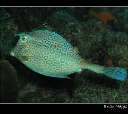 Cowfish from Bonaire.........Canon G7 by Brian Mayes