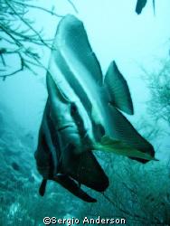 batfish, fish head ,ari atholl by Sergio Anderson
