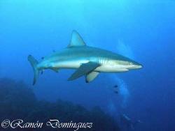 Galápagos shark at San Benedicto island by Ramón Domínguez