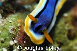 nudibranch, taken at wakatobi,d70,60mm by Douglas Epley